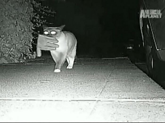 Кот-клептоман тащит домой все, что плохо лежит