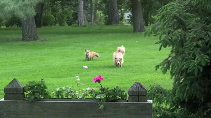 Дикая лиса подружилась с собакой