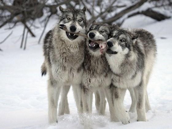 В парк Йелоустон завезли волков