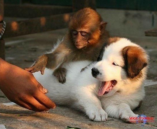 Первое знакомство обезьянки и милых щенков