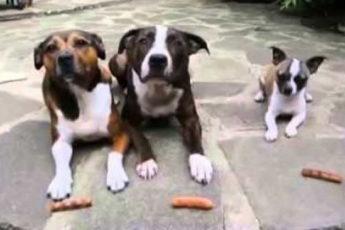 Три собаки ждали своей очереди, чтобы съесть сосиски