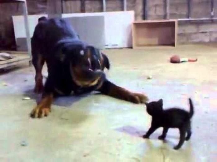 Храбрый котёнок против огромного пса