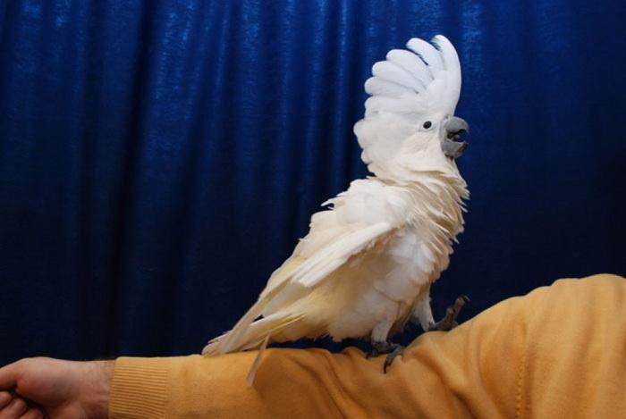 Попугай боится щекотки