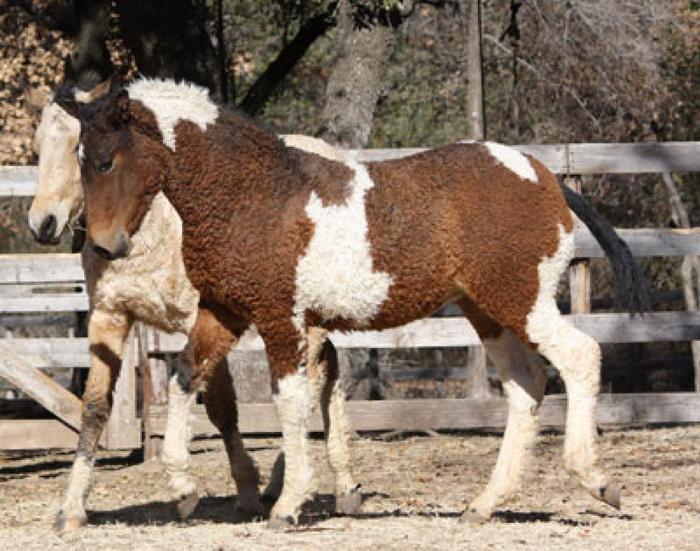 Кудрявые лошади