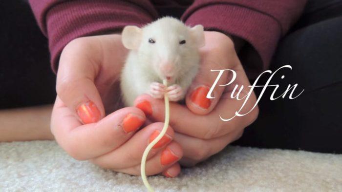 Как только хозяйка чихает, её крыса делают потрясающие вещи