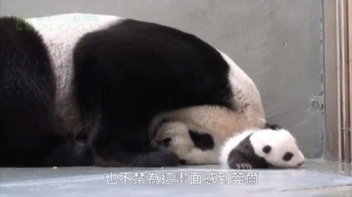Мама-панда впервые видит своего малыша