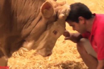 Реакция быка, впервые оказавшегося на воле