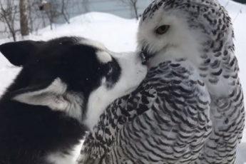 Хаски целует сову
