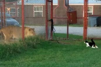 Домашняя кошка против львицы