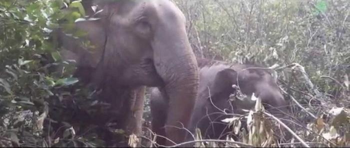 Слонёнок вернулся к маме после 4-х лет разлуки