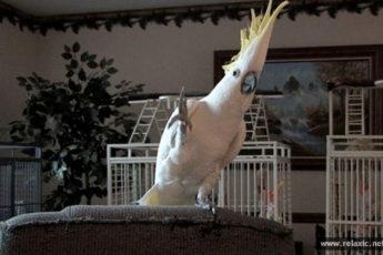 Самые смешные танцующие попугаи