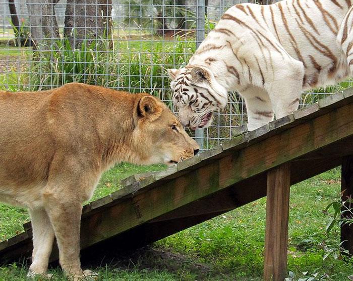 Безграничная любовь африканского льва и тигрицы-альбиноса
