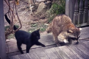 Слепой енот привел двух котят к человеку