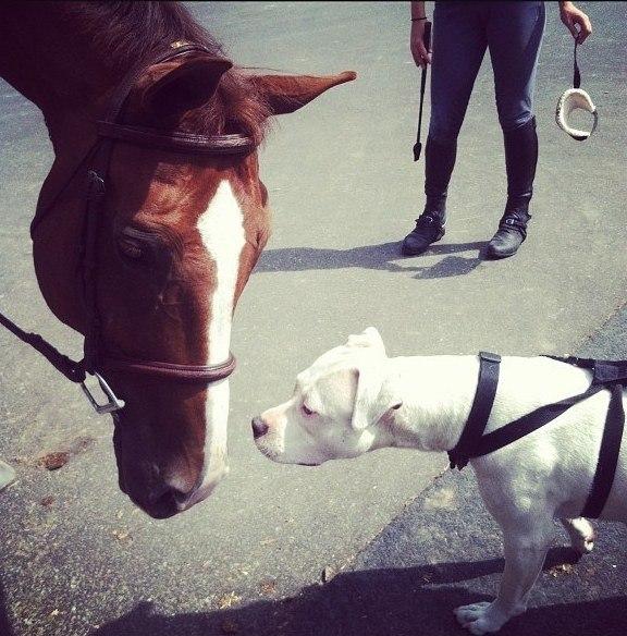 Несмелый песик знакомится с лошадкой.