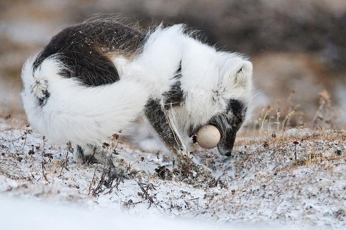 Песец утащил гусиное яйцо