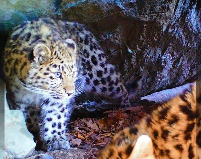 Принцесса Земли леопарда Бэри. Фото пресс-служба ФГБУ Земля леопарда