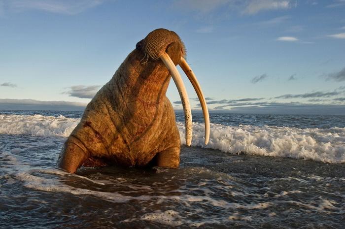 Красавец морж