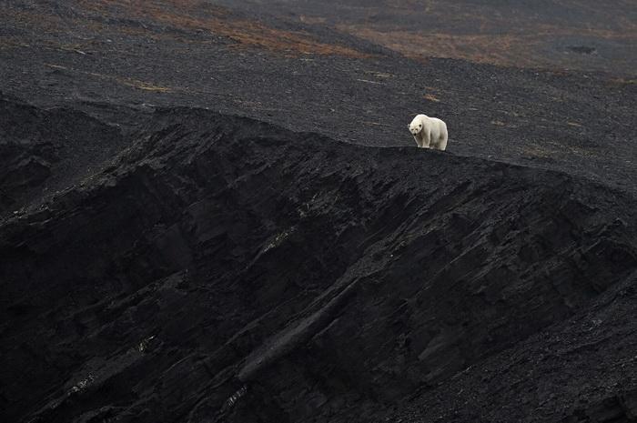 Крупнейший сухопутный хищник планеты — белый медведь