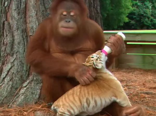 Орангутанг «усыновил» осиротевших тигрят