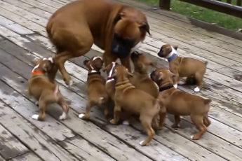 папа боксер впервые увидел свои щенков